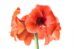 Amaryllis Hippeastrum flower Royalty Free Stock Images