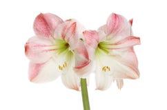 Amaryllis Royalty Free Stock Photo