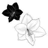 Amaryllis-hippeastrum lilly bloem geïsoleerde macro stock illustratie