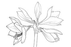 Amaryllis hippeastrum lilly closeup macro view. Amaryllis hippeastrum lilly flower isolated black and white outline sketch drawing. Spring floral bouquet foliage Stock Image