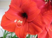 Amaryllis Hippeastrum Red Lion Christmas-Lelie Royalty-vrije Stock Fotografie
