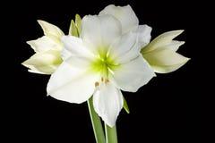 Amaryllis kwiat Zdjęcie Royalty Free