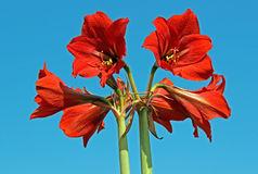 Amaryllis kwiat Obrazy Royalty Free