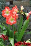 Amaryllis kwiat Zdjęcia Stock