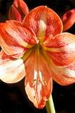 Amaryllis kwiat w pełnym kwiacie Zdjęcia Stock