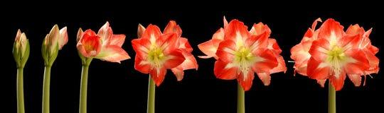 Amaryllis kwiatu serie obraz stock