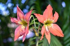 Amaryllis kwiaty są pięknym pomarańcze obrazy royalty free
