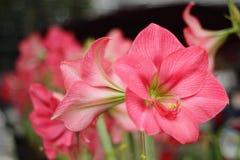 Amaryllis lata kwiatu kwitnienie Zdjęcia Royalty Free