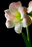Amaryllis lily royalty free stock images