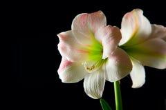 Amaryllis lily Royalty Free Stock Image