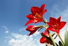 Amaryllis Lily Flowers roja grande contra el cielo Imagen de archivo