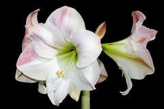 Amaryllis no preto Imagens de Stock