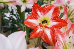 Amaryllis- oder Hippeastrum-Blume, die im Garten dröhnt Stockfotografie