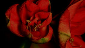 Amaryllis Opening Wider and Wider stock video