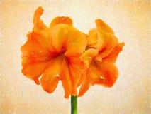 Amaryllis Orange Sovereign - Textured fotografia de stock royalty free