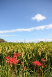 Amaryllis and paddy fields. I found an amaryllis that blooms beside the paddy fields were photographed Royalty Free Stock Image