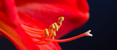 Amaryllis pistils and stamens Royalty Free Stock Photography