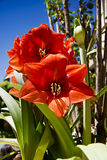 Amaryllis Plant in Full Bloom Royalty Free Stock Image