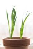 Amaryllis Plant Royalty Free Stock Photos