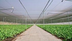 Amaryllis plants inside a large nethouse. Amaryllis plants inside a large greenhouse stock video