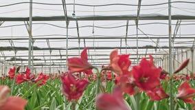 Amaryllis plants inside a large nethouse. Amaryllis plants inside a large greenhouse stock footage