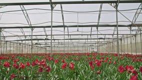 Amaryllis plants inside a large nethouse. Amaryllis plants inside a large greenhouse stock video footage