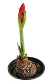 Amaryllis in pot Stock Photography