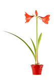 Amaryllis in pot. Beautiful Amaryllis isolated on a white background royalty free stock images