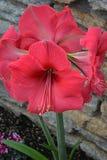 Amaryllis Red Royalty Free Stock Image