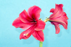 Amaryllis. Red Amaryllis flower petals and reproductive parts stock photo