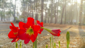 Amaryllis - red lion. At thailand in beautiful forest Amaryllis - red lion Royalty Free Stock Images