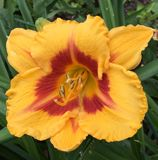 Amaryllis red-orange Royalty Free Stock Image