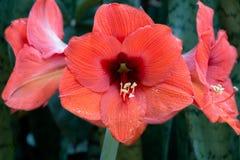 Amaryllis roja, en fondo de la naturaleza, vista lateral superior fotografía de archivo