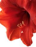 Amaryllis rojo Imagen de archivo libre de regalías