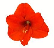 Amaryllis rojo Fotos de archivo libres de regalías