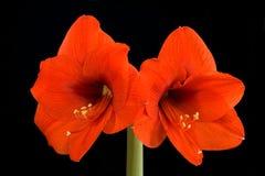 Amaryllis rojo Foto de archivo