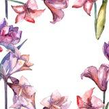 Amaryllis rose Fleur botanique florale Place d'ornement de frontière de vue Photos libres de droits
