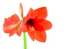 Amaryllis rosso Immagini Stock