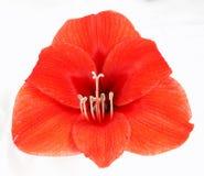 Amaryllis rosso Fotografia Stock Libera da Diritti