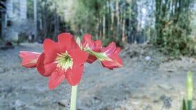 Amaryllis - roter Löwe lizenzfreies stockbild
