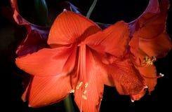 Amaryllis rouge Photos stock
