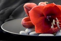 Amaryllis rouge Photos libres de droits