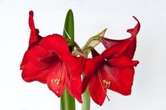 Amaryllis rouge en fleur Photo libre de droits