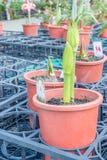 Amaryllis rozmaitość: Morelowy piękno Obrazy Stock