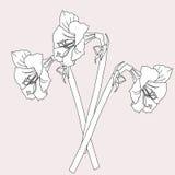 Amaryllis.Sketch черно-белое Стоковые Фотографии RF