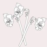 Amaryllis.Sketch noir et blanc Photos libres de droits