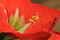 Amaryllis Stamen Czerwone romansu i rosy kropelki - kwiatu tło - Fotografia Stock