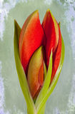 Amaryllis. Still life of a red Amaryllis bud on a green background Stock Image