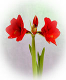 Amaryllis. Still life of a red Amaryllis in full bloom Stock Photo