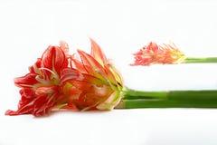 Amaryllis su bianco Fotografie Stock Libere da Diritti